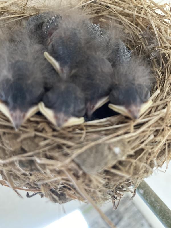 ツバメの巣拝見3